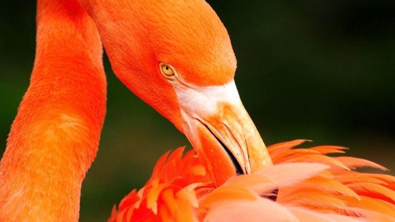 Orange Flamingo Wallpaper Orange Bird Bird Wallpaper Animal
