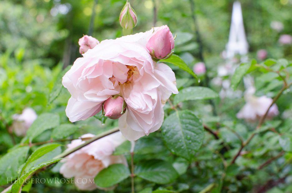 Generous Gardener | David Austin roses | Pinterest | David austin ...