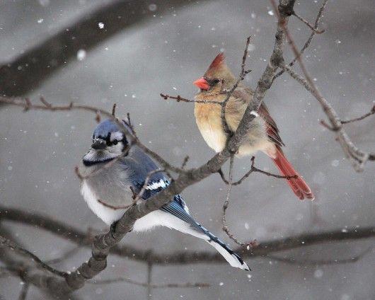 Blue Jay Watercolor Northeastern Bird Men/'s Novelty T-Shirt