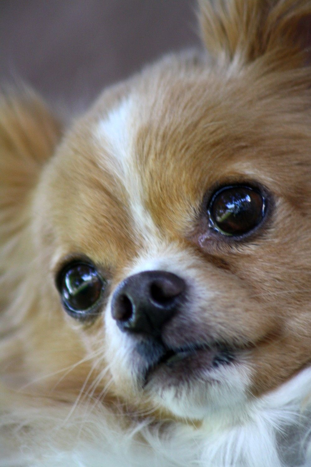 Popular Colors And Markings Of Chihuahua Dogs Photo Chien Chiot