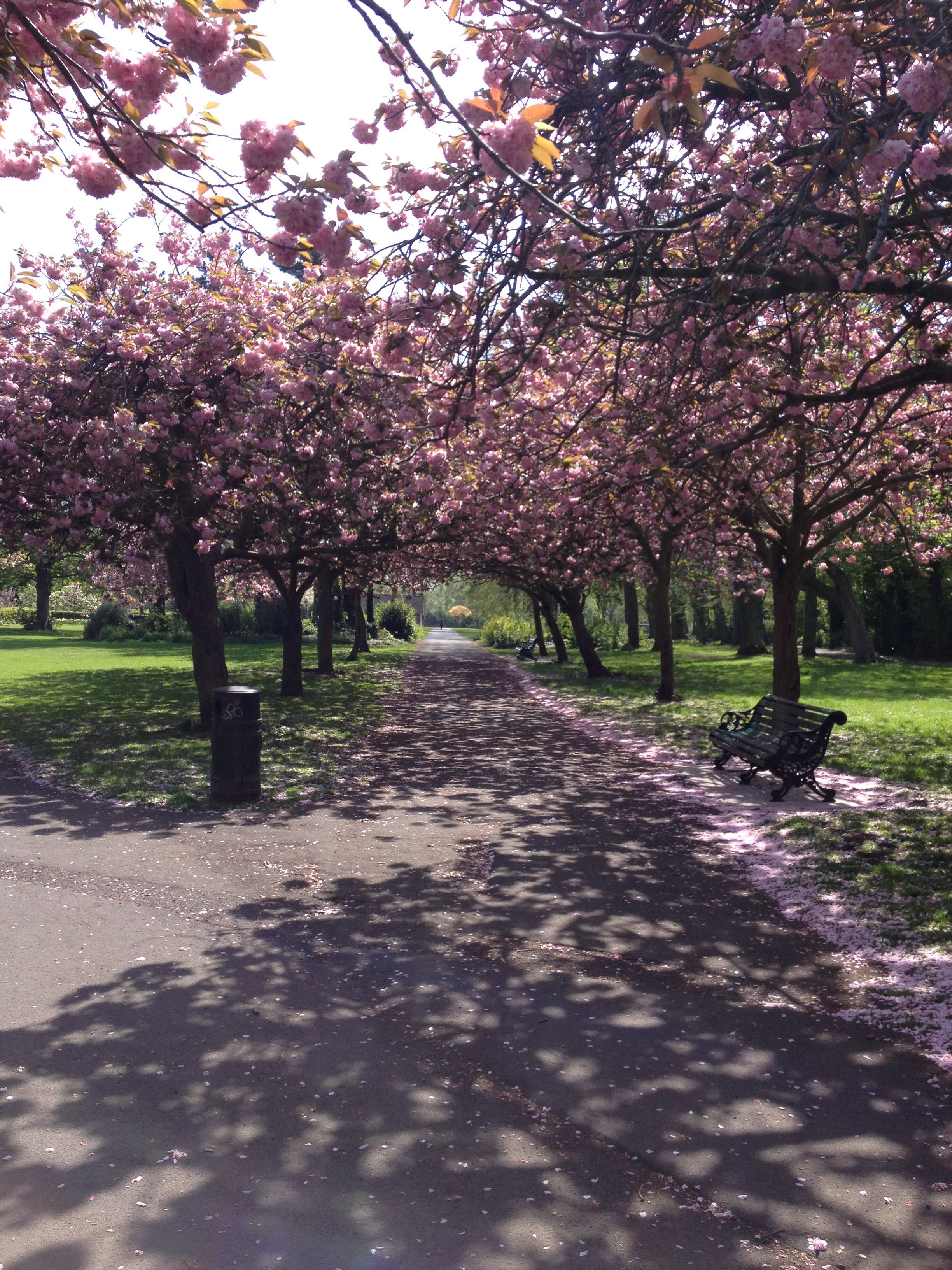 Cherry Blossoms In Dublin Ireland Can Be Beautiful In The Sunshine You D Never Know Tree Flower Garden Plants