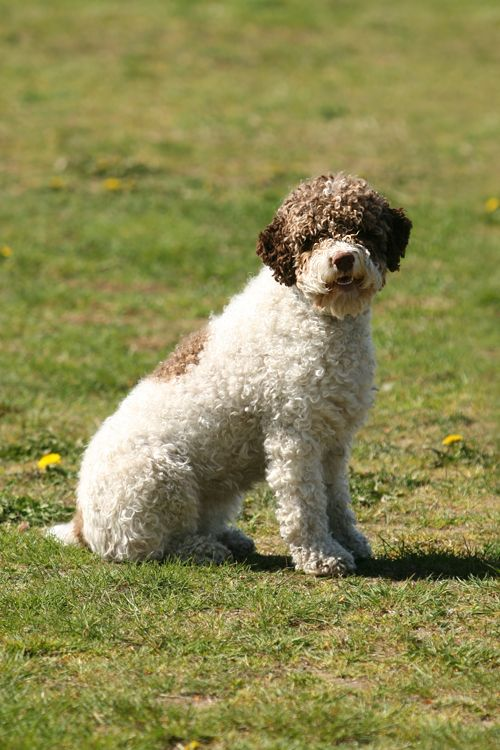 Lagotto Romagnolo Romagna Water Dog Water Dog Of Romagna