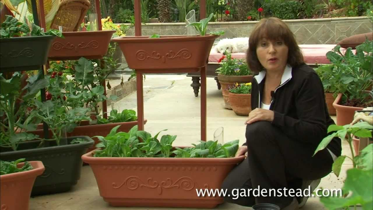 Growing bok choy in containers from gardenstead growing