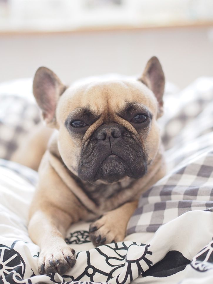"""""""Why so serious?"""", French Bulldog"""