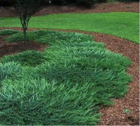 Picture Of Bar Harbor Juniper Gardenality Ground Cover Plants Ground Cover Conifers Garden
