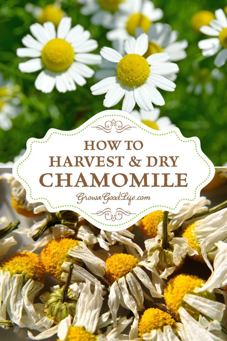 Growing chamomile for tea drying herbs herbs formal