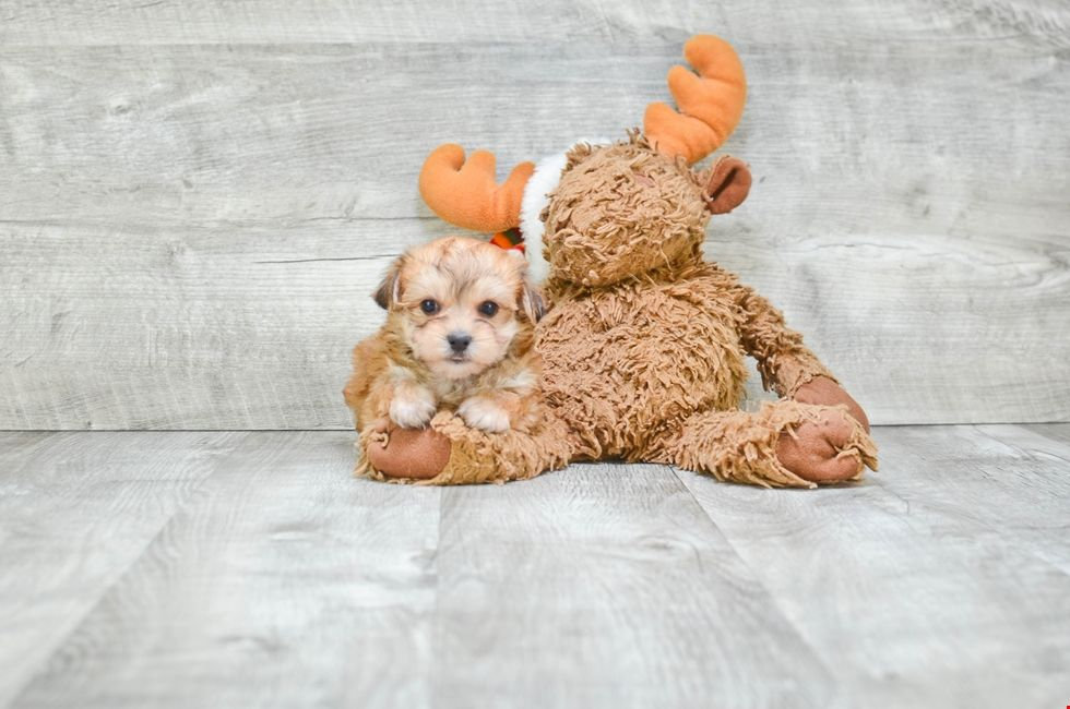 Morkie Puppies For Sale Ohio Morkie Pups Online (With