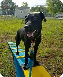 Adopt Loki On Loki Great Dane Mix Dogs