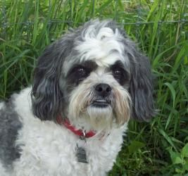 Adopt Moto Pending On Shih Tzu Dog Dogs Rescue Dogs