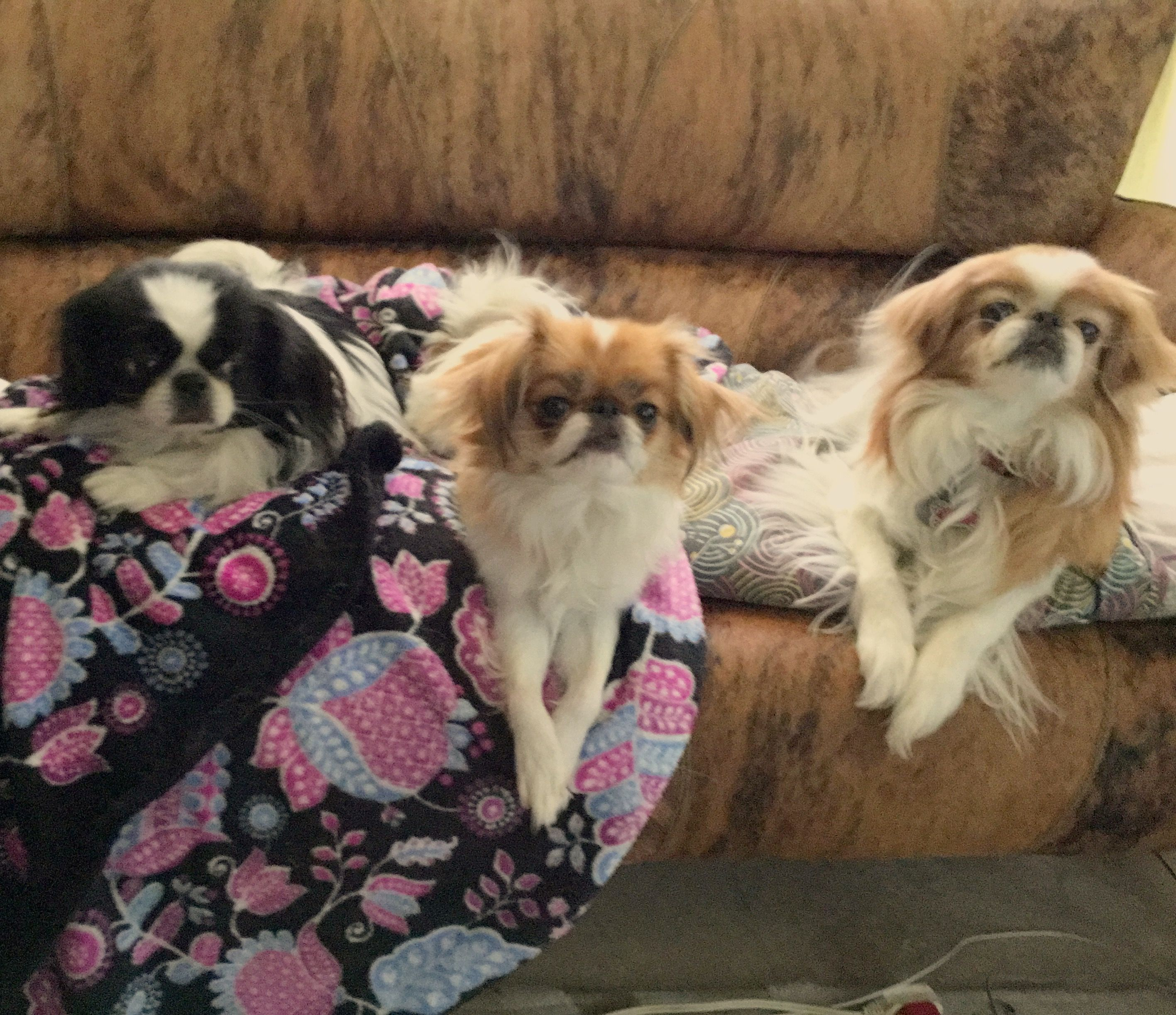 Pin by Alicia Picchiani on Japanese Chin Japanese chin
