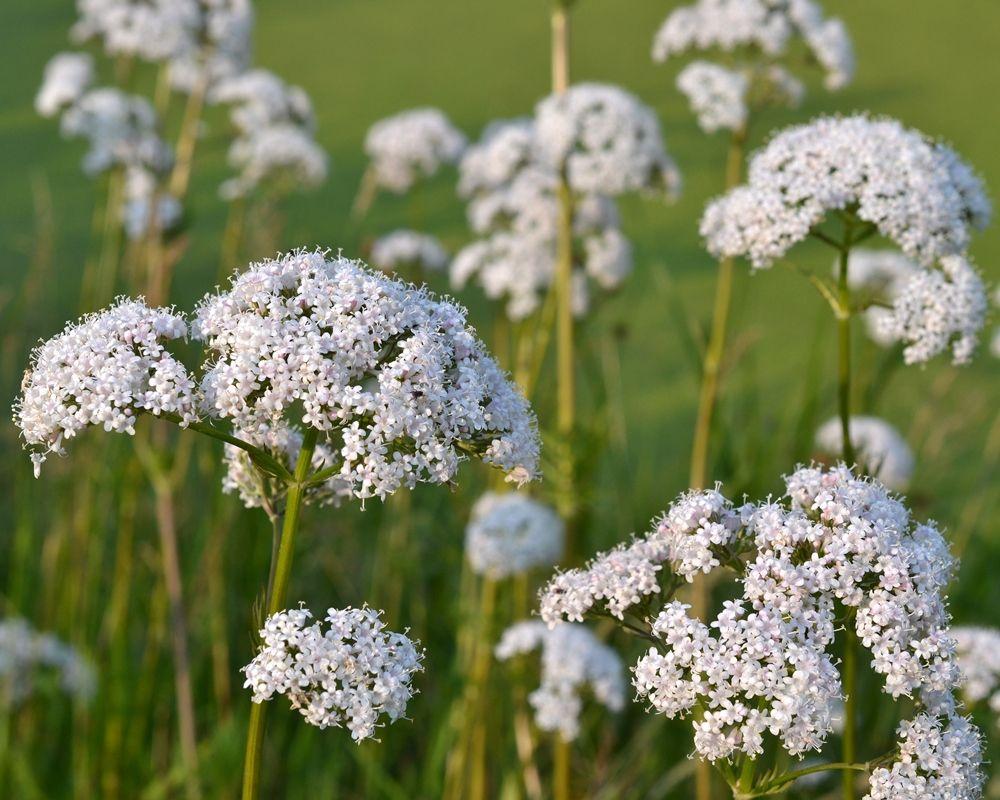 Anyz Biedrzeniec Sklep Swiat Kwiatow Dostawa Gratis Seeds Herbs Anise Seed