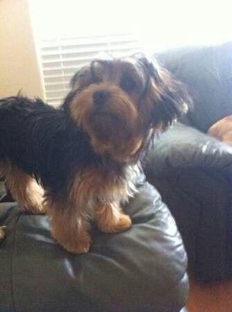 Lostdog Katytx Lost Female Yorkie Katy Tx Morton Ranch On Mason