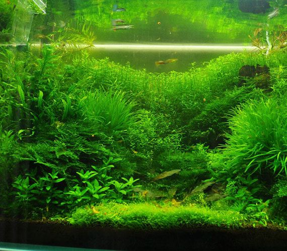 500 mix aquarium grass seed aquatic plant easy planting for Easy aquatic plants