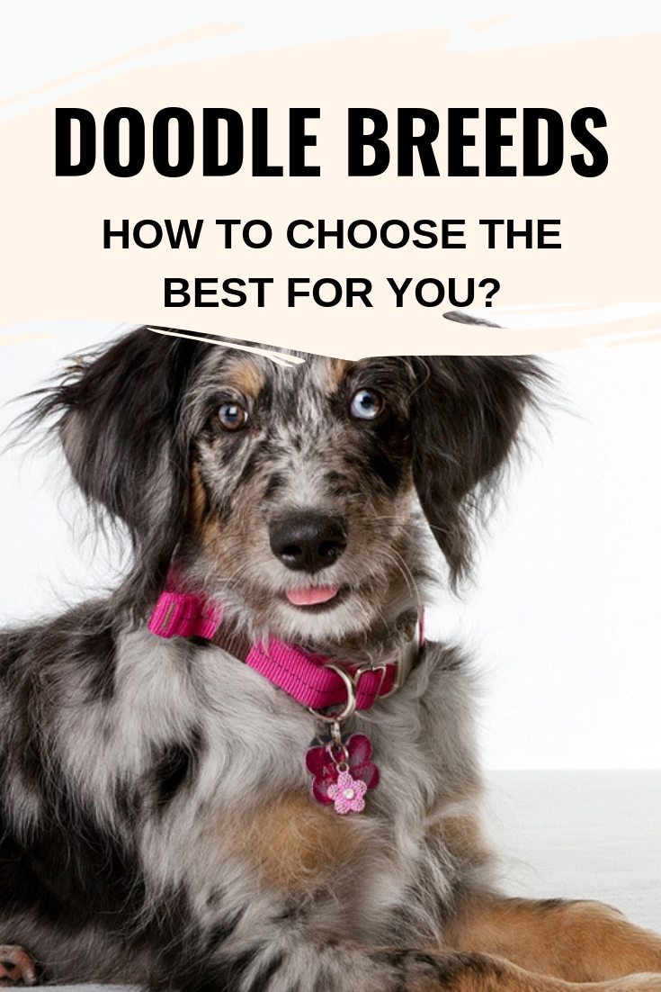 Doodle Breeds How To Choose The Best For You Doodle Dog
