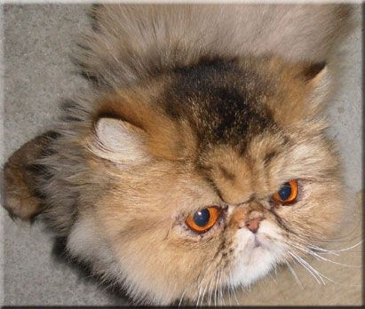 Windy Valley Persians Cats And Kittens Cat Breeder Fluffy Cat