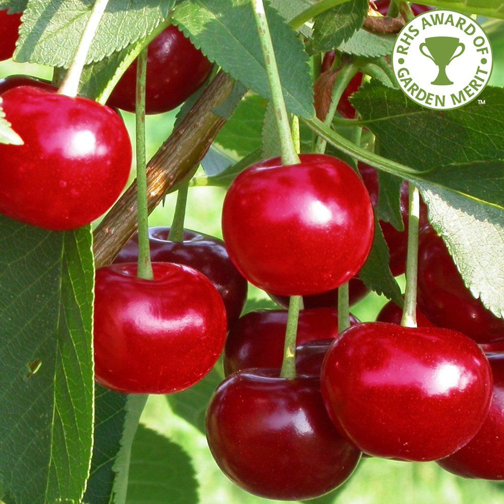 Morello Cherry Tree Cherry Fruit Tree Fruit Trees Cherry Fruit