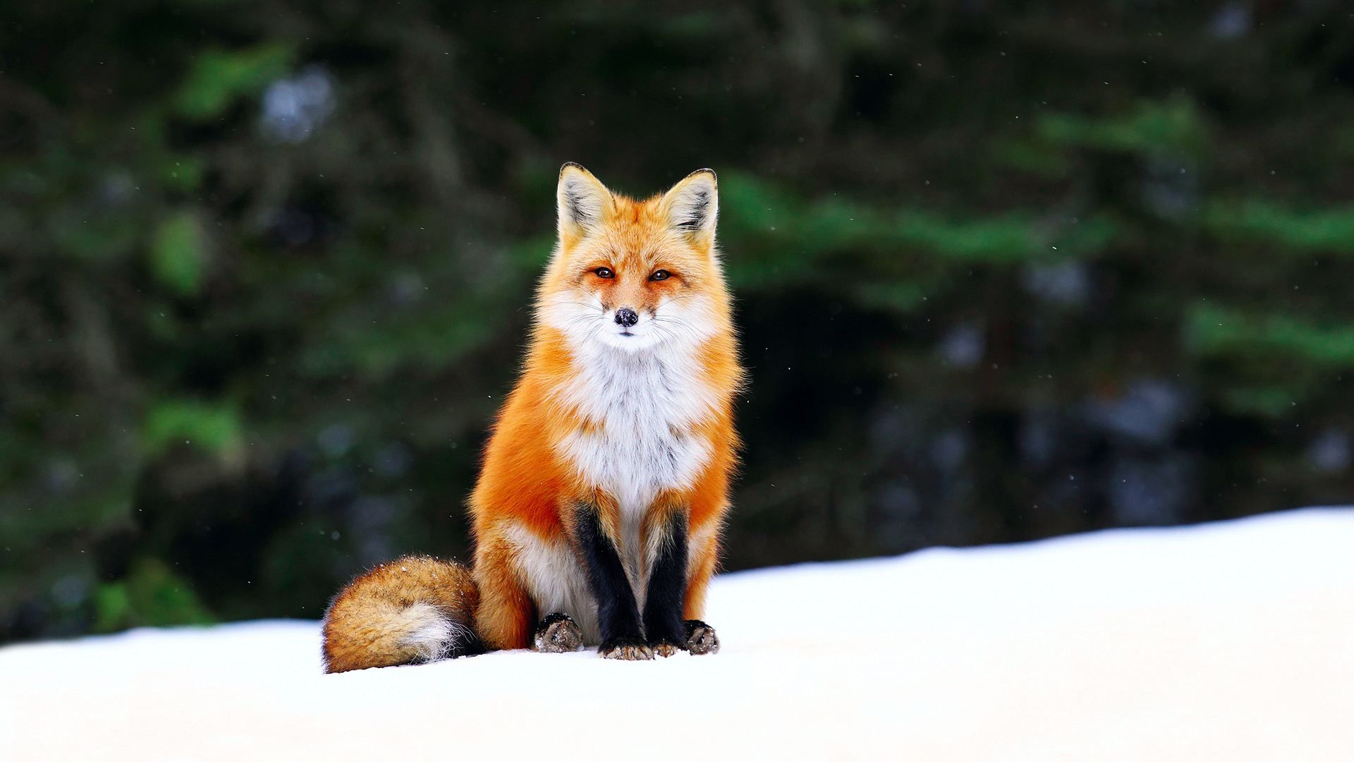 Cute Orange Fox wallpaper Fox in snow, Cute animals
