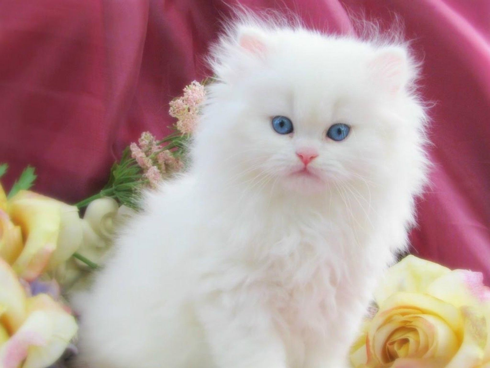 A Cute Fluffy Kitten With Blue Eyes Pics Of Cute Cats Cute Cats And Dogs Cute Cat Wallpaper