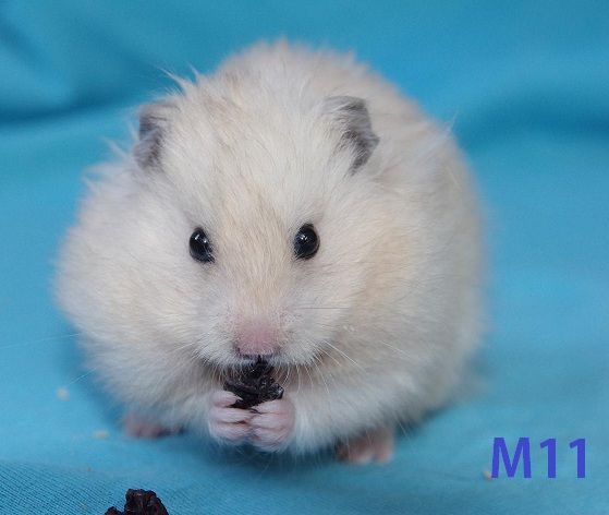 For Sale Hamstery Hairball Syrian Hamster What Is Cute Hamster