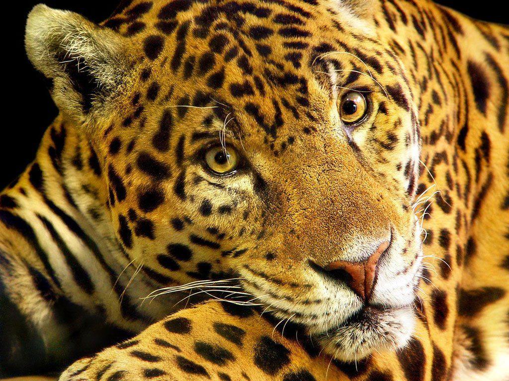 Onca Pintada Animais Da Floresta Tropical Animais Lindos Animais Ameacados De Extincao