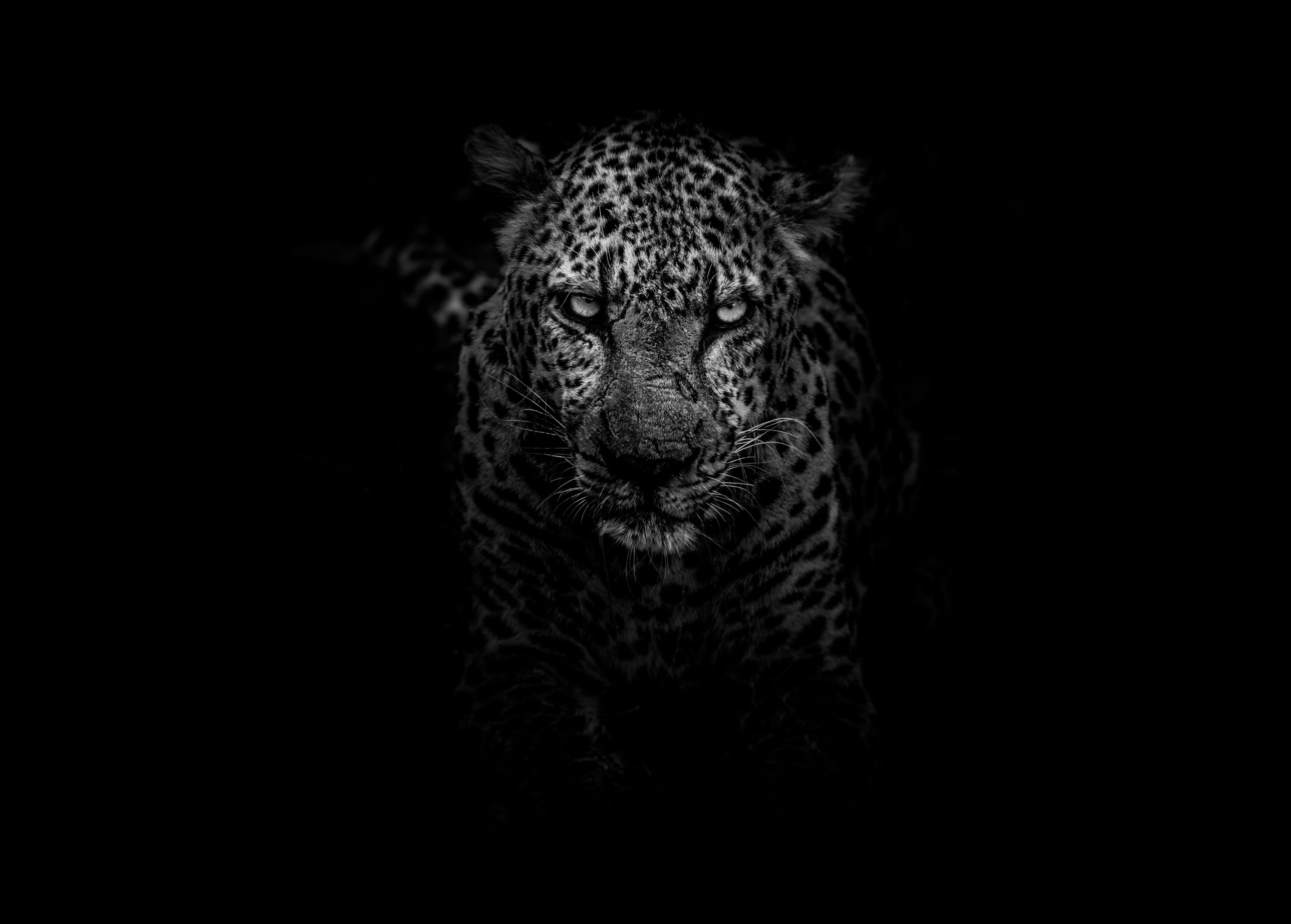 Leopard Animals Dark Hd Monochrome Black And White 4k 5k 5k Wallpaper Hdwallpaper Desktop In 2020 Leopard Pictures Animal Wallpaper Jaguar Animal