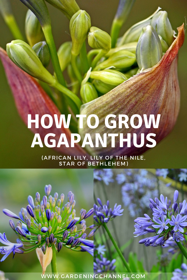How To Grow Agapanthus Flowers African Lily Lily Of The Nile Star Of Bethlehem Gardening Channel African Lily Agapanthus Agapanthus Garden