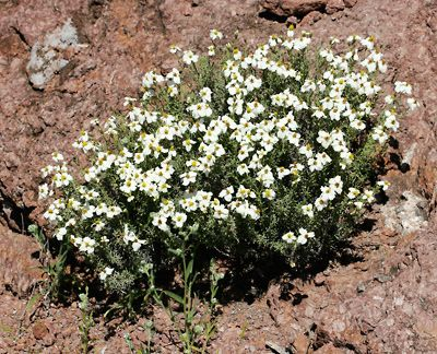 Desert Flower Names Zinnia Acerosa Desert Zinnia Wild Zinnia Spinyleaf Zinnia White In 2020 Zinnias Xeriscape Plants Plants