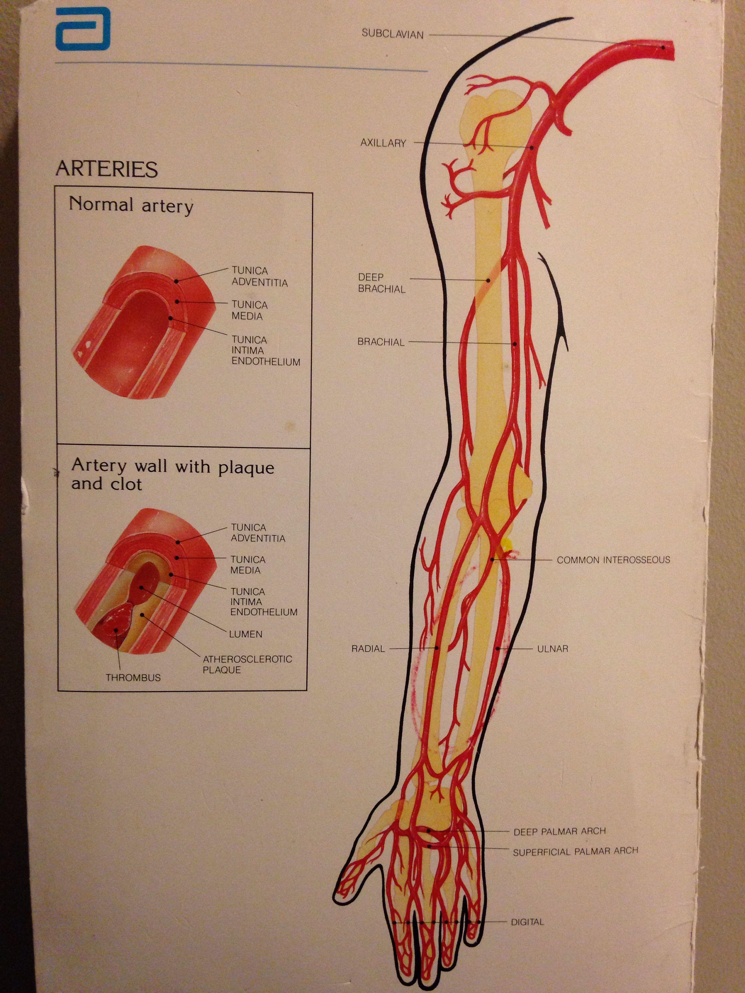 Upper extremity arterial   Med Life   Pinterest