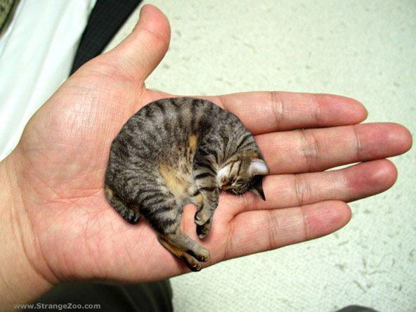 Etonnant Smallest Animals In The World Smallest Cat Mr Peebles May Look Like A  Kitten, But