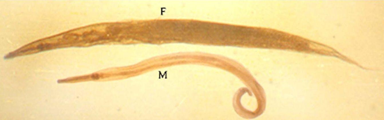 enterobius vermicularis the pinworm)