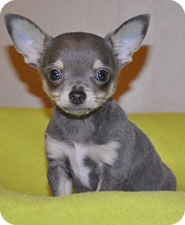 Hagerstown Md Chihuahua Mix Meet Molokai A Puppy For Adoption