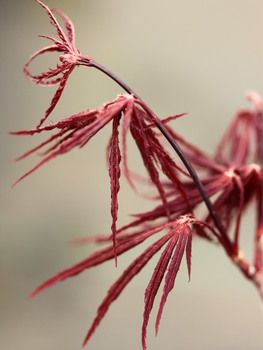 Acer palmatum 'Firecracker' _ Japanese Maple #japanesemaple