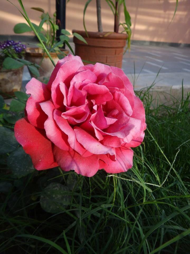 Rose behind the garden in Delhi