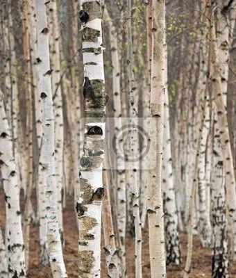 Papier peint bouleaux au printemps tronc - Tronc de bouleau ...
