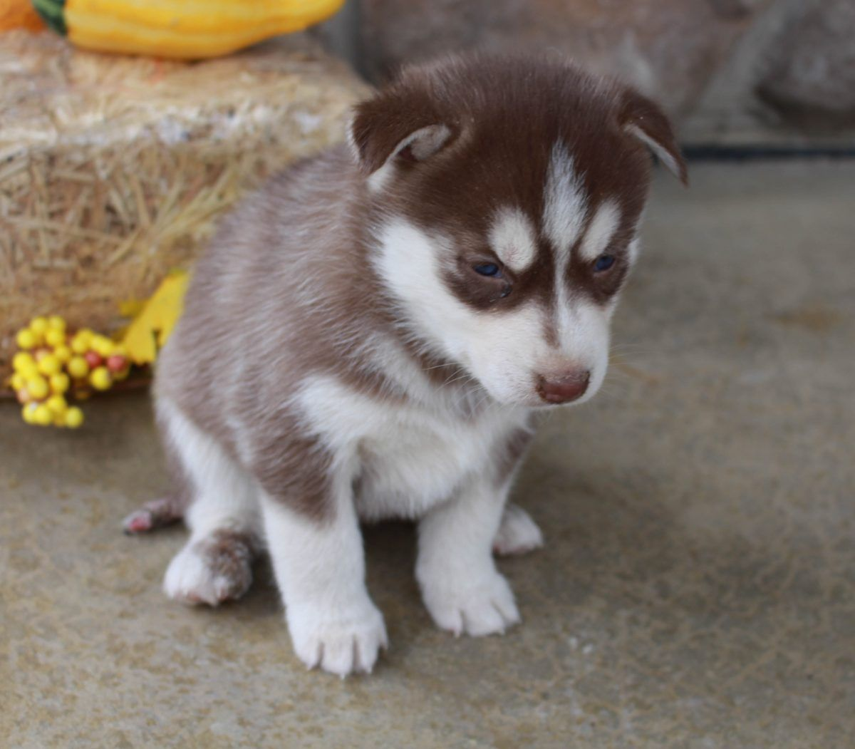 Kennedy Akc Siberian Husky Puppy For Sale Near Fort Wayne