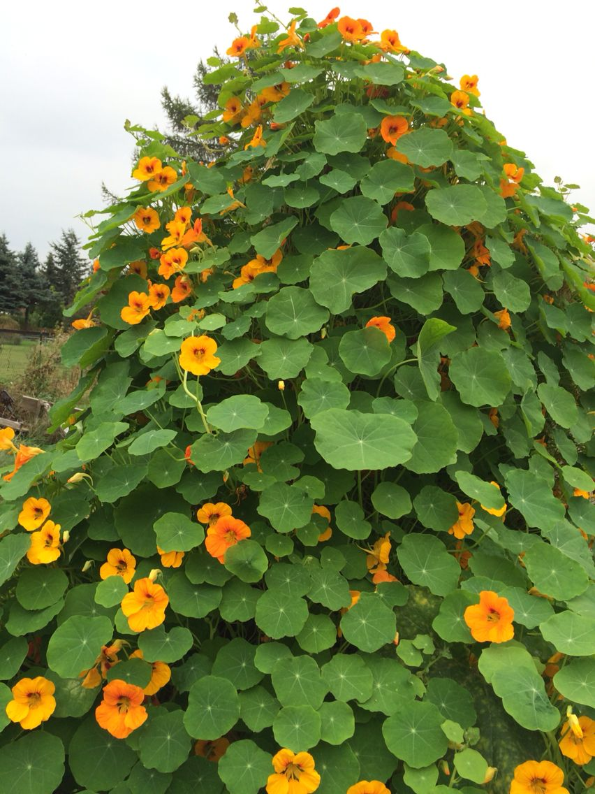 Kapuzinerkresse - die Blüten schmecken lecker.