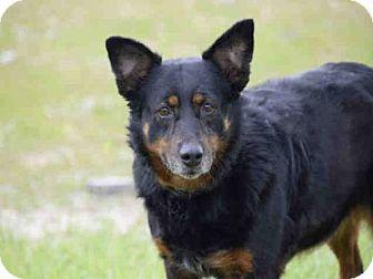 St Louis Mo Border Collie Mix Meet Artemis A Dog For