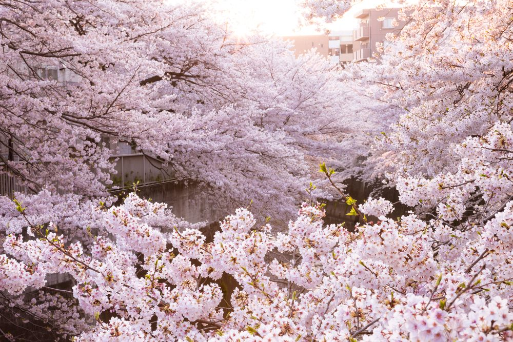 We Should All Adopt Hanami The Japanese Tradition Of Flower Viewing Cherry Blossom Hanami Japanese Cherry Blossom