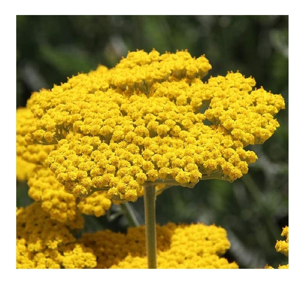 Buy Achillea Flower Seeds Yarrow plant, Deer resistant