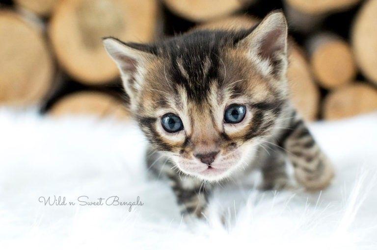 Bengal kittens cats for sale bengal kitten kittens