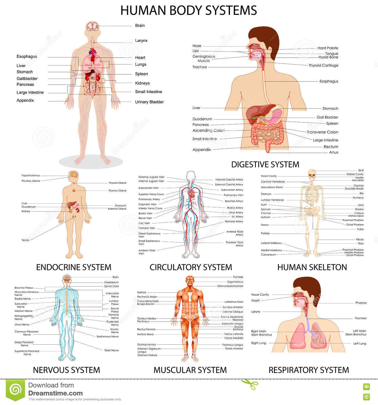 Human Organ Systems Chart Chart Of Different Human Organ System