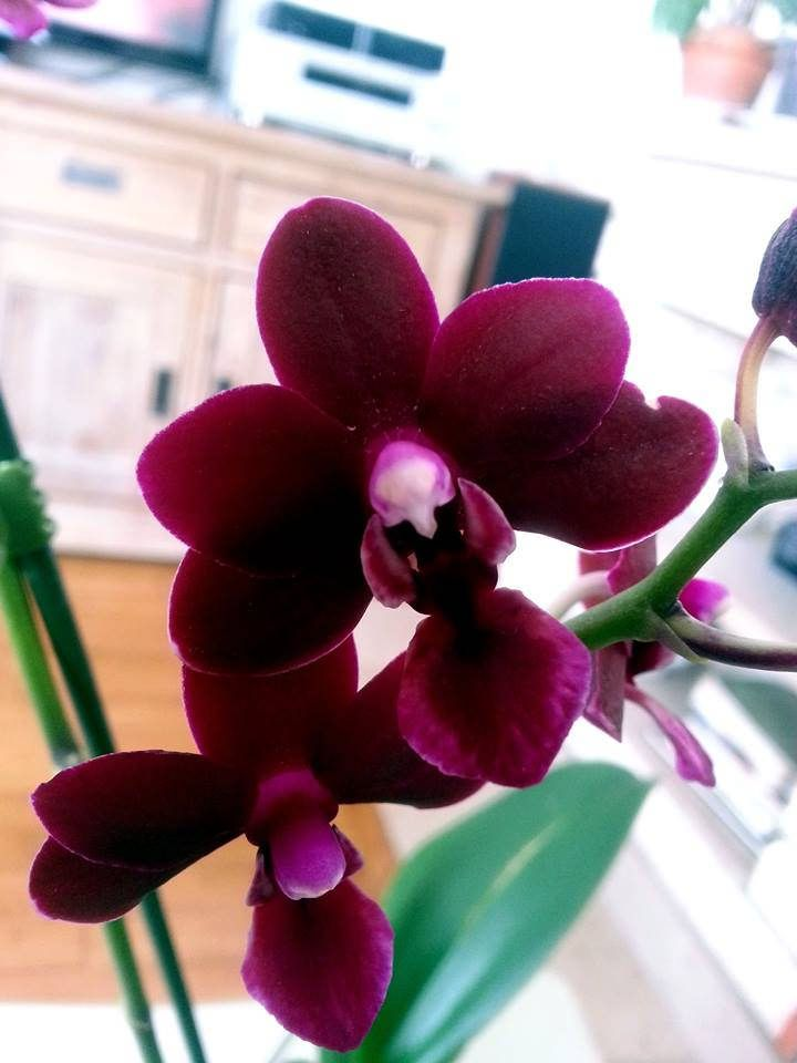 Phalaenopsis Champion Black Pixie par Charly