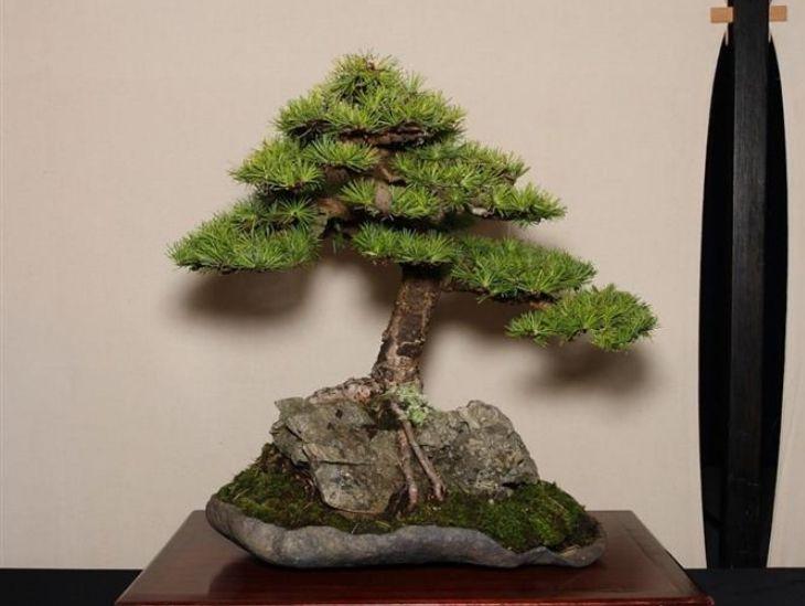 Bonsai estilo raiz sobre rocha