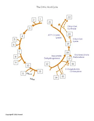The Citric Acid Cycle Quiz Or Worksheet For Biology I Teachers