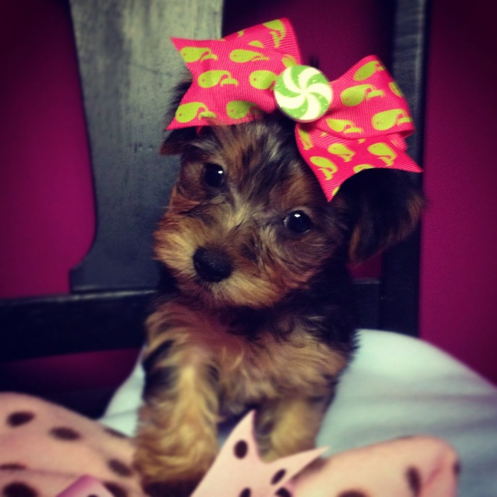 Yorkie Perfection- www.toysandteacups.com - Now in her new home- More yorkies soon.