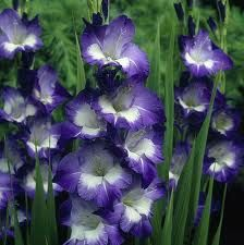Gladiolus Blue White Google Search Gladiolus Flower Bulb Flowers Gladiolus