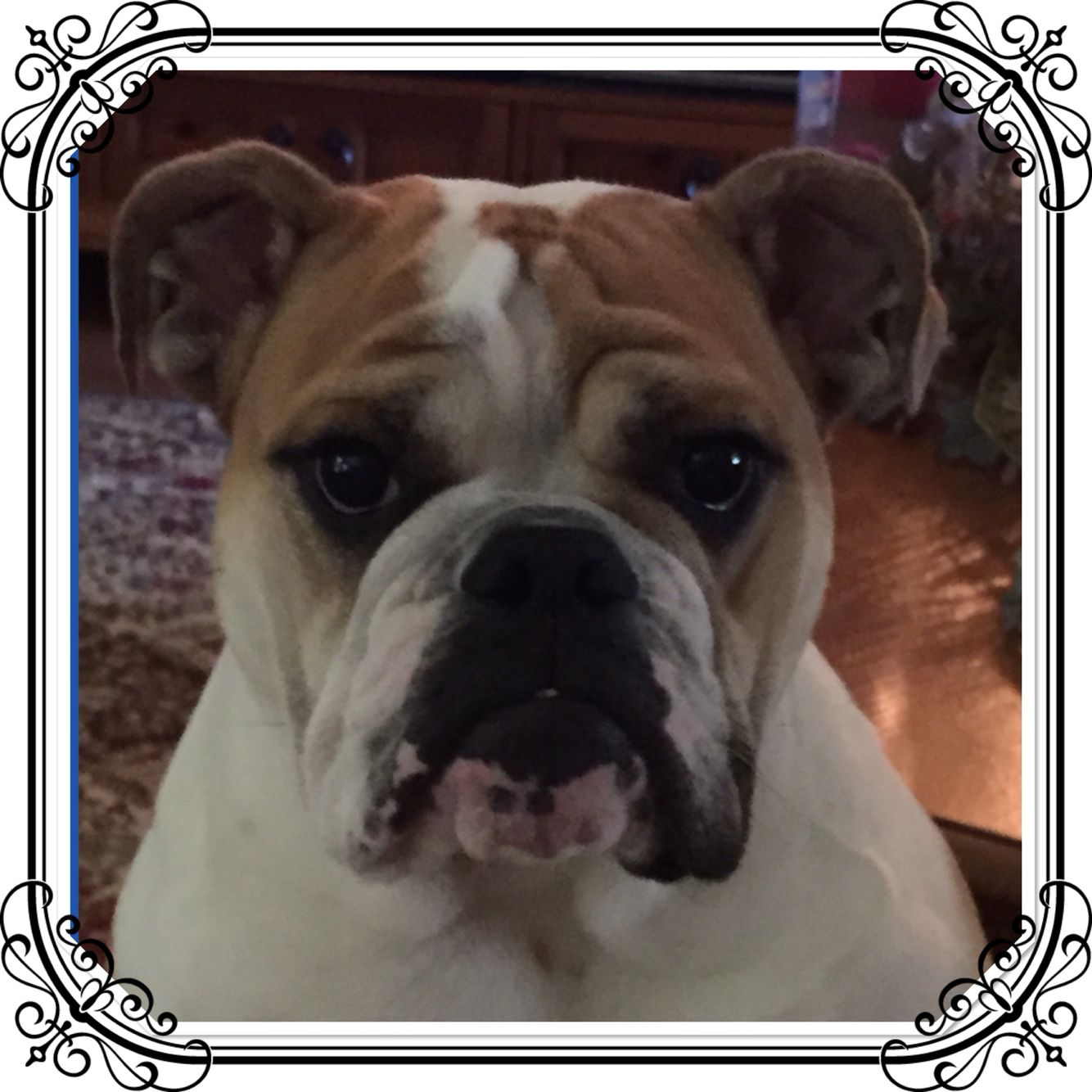 Pin by Darlene Perkins on All Things Miss Lily Bulldog