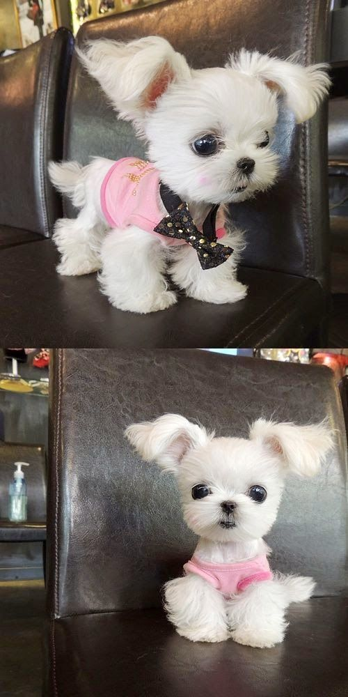 Cutest Teacup Puppies You Have Ever Seen Oooweees Pinterest - Adorable pig whos grown up with dogs believes shes a puppy too