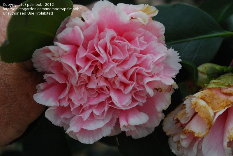 Camellia Japonica Varieties Of Common Camellia Japanese Camellia Hawaii Camellia Japonica Japonica Flowers Japanese