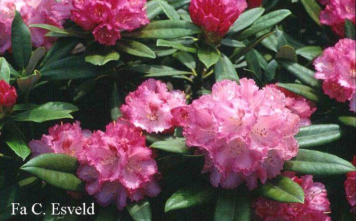 rhododendron 39 arabella 39 yakushimanum hybride zon halfschaduw zure grond de hoogte na 10 jaar. Black Bedroom Furniture Sets. Home Design Ideas